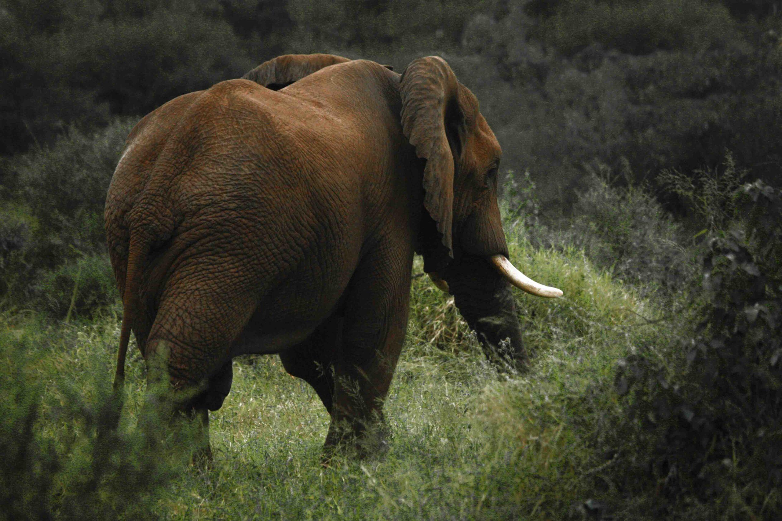 Afrikinio dramblio medžioklė