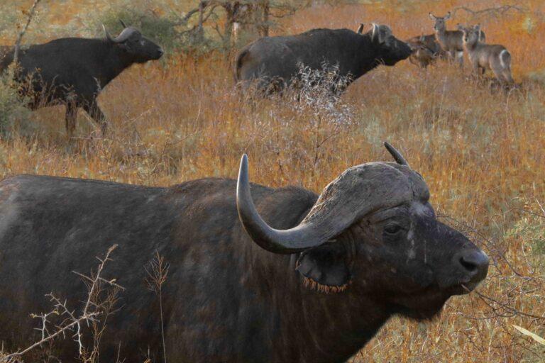 Atsiminimai iš Afrikos: afrikiniai buivolai