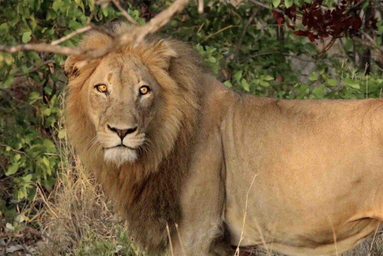 Liūto medžioklė
