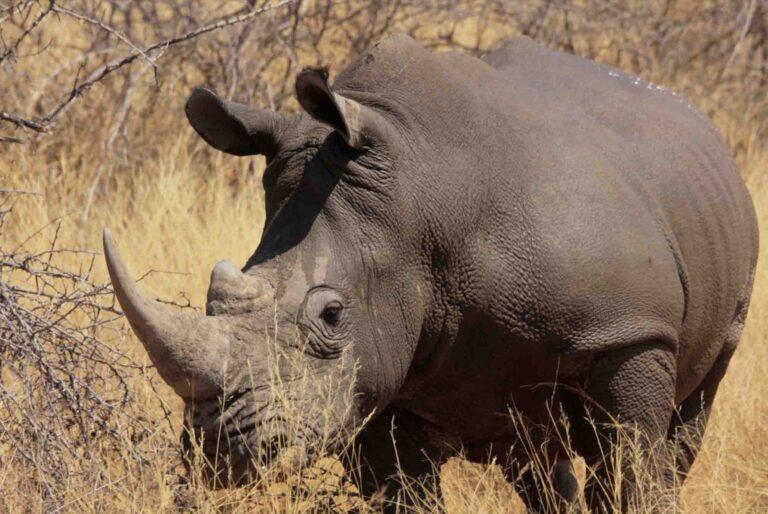 Atsiminimai iš Afrikos raganosio medžioklės